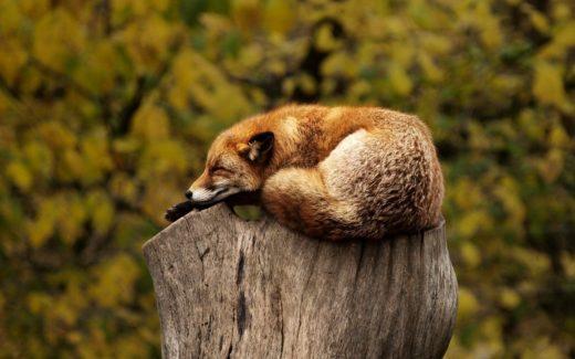 relaxing-fox